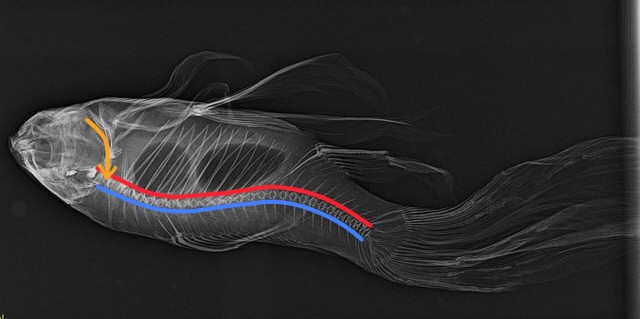 fish-bone-nerve-aorta