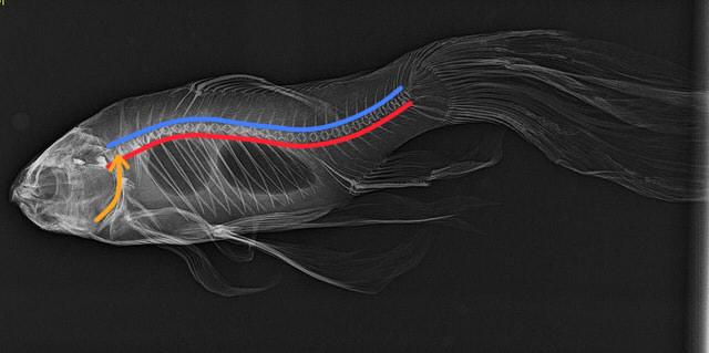 fish-bone-nerve-aorta-image