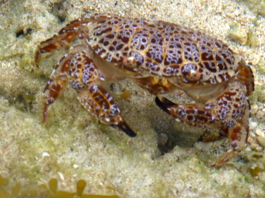 deadly-poison-crab-zosimus-aeneuss-1