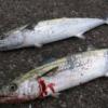岸和田一文字の釣果情報、青物ジギング、ジグサビキで中アジ(2016年8月28日)