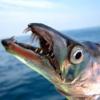 岸和田一文字にて、ジグサビやワインドでタチウオ&中アジ&青物!数釣りが楽しめた一